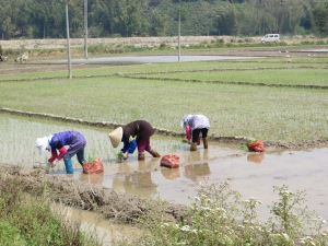 Planting rice seedlings in far southwestern China, March 2013